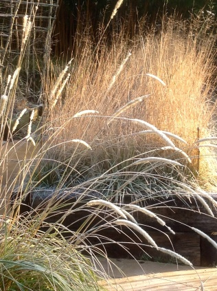Winter frost January pennisetum macorum frosted