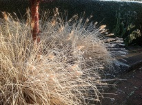 winter tibetan cherry pennisetum black beauty Frosted