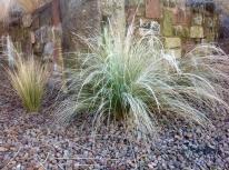 Winter frost January Nassella tenuissima