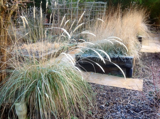 Pennisetum macourum February