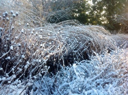 February : Frozen wave of Calamagrostis