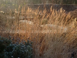Winter frost January miscathus hedge