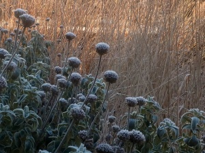 Winter frost january calamagrostis Phlomis
