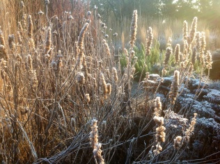 Winter seeds heads agastache echinacea seed heads