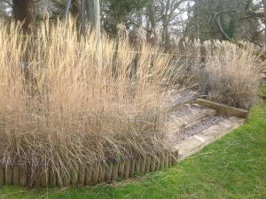 Miscanthus 'Starlight' April