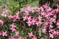 Spring clematis Montana freda