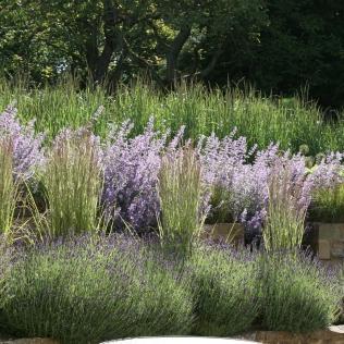 Summer lavender nepeta calamagrostis