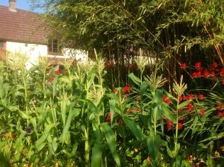 Summer sweet corn vegetable
