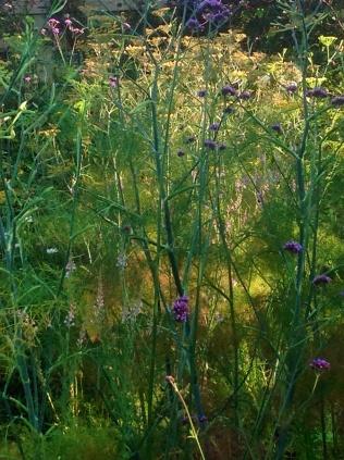 Summer fennel verbena backlit
