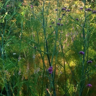 Summer fennel verbena backlit