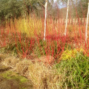 A colourful late winter display of cornus.