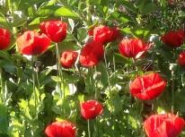 Spring poppies beans vegetable