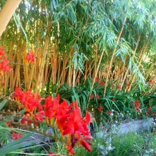 Yellow bamboo with red crocosmia