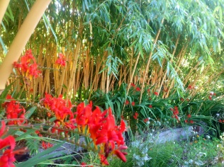 Yellow bamboo with red crocosmia