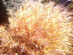 Hakonechloa macra 'Aureola' is great for winter fake effects