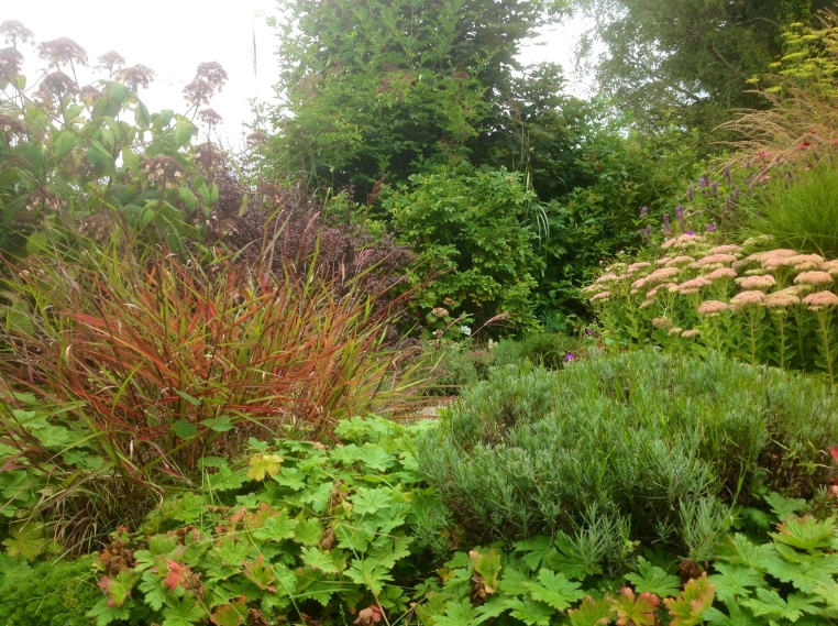 African miscanthus sinensis has distinct red leaves