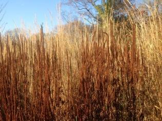 Autumn winter veronicastrum seed heads calamagrostis