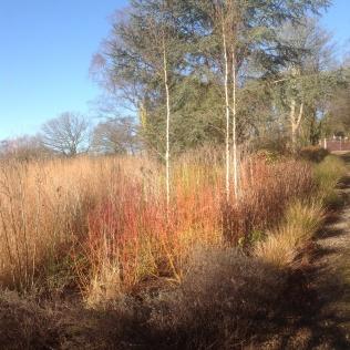 Winter miscanthus birches drive