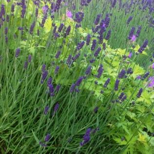 Summer lavender geranium