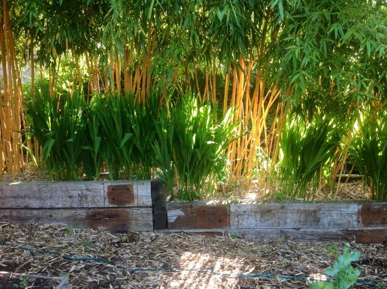 Bamboo phyllostachys vivax