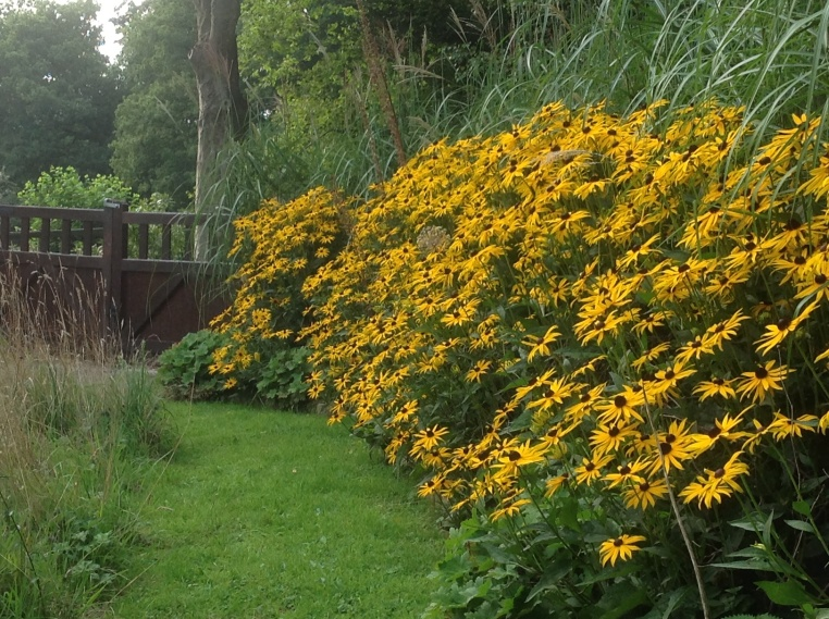 Rudbeckia planted in a mass