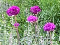 Spring may alliums nepeta calamagrostis
