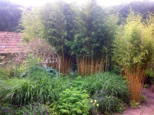 Bamboo with golden canes hides the greenhouse from view