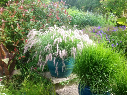 Summer pennisetum little bunny lodging
