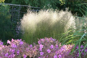 deschampsia in full flower in a nursery bed June 2014