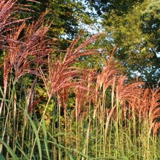 IMG_46221 miscanthus malepartus autumn