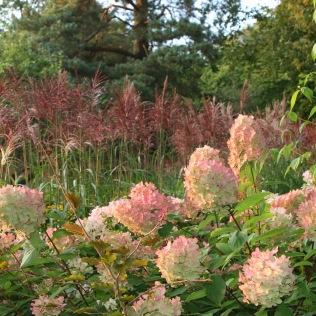Autumn miscanthus hydrangea panicluata