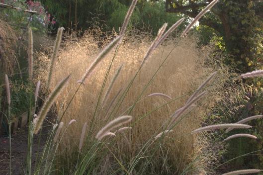 Pennisetum macrourum winter