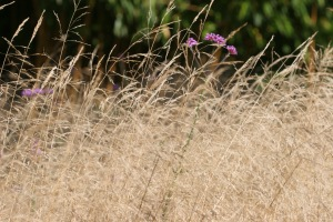 Barn House Garden - Deschampsia
