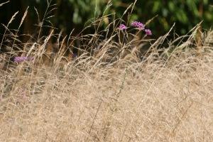 Barn House Garden - Deschampsia