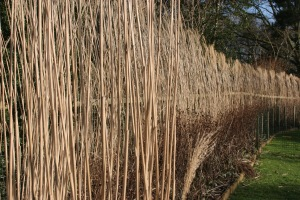 miscanthus hedge April