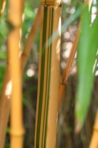 Phyllostachys vivax variegation