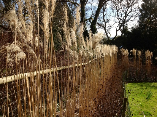 Dried miscanthus hedge March