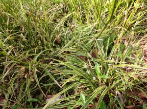 Carex groundcover