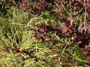 Carex oshimensis 'Evergold' under berberis
