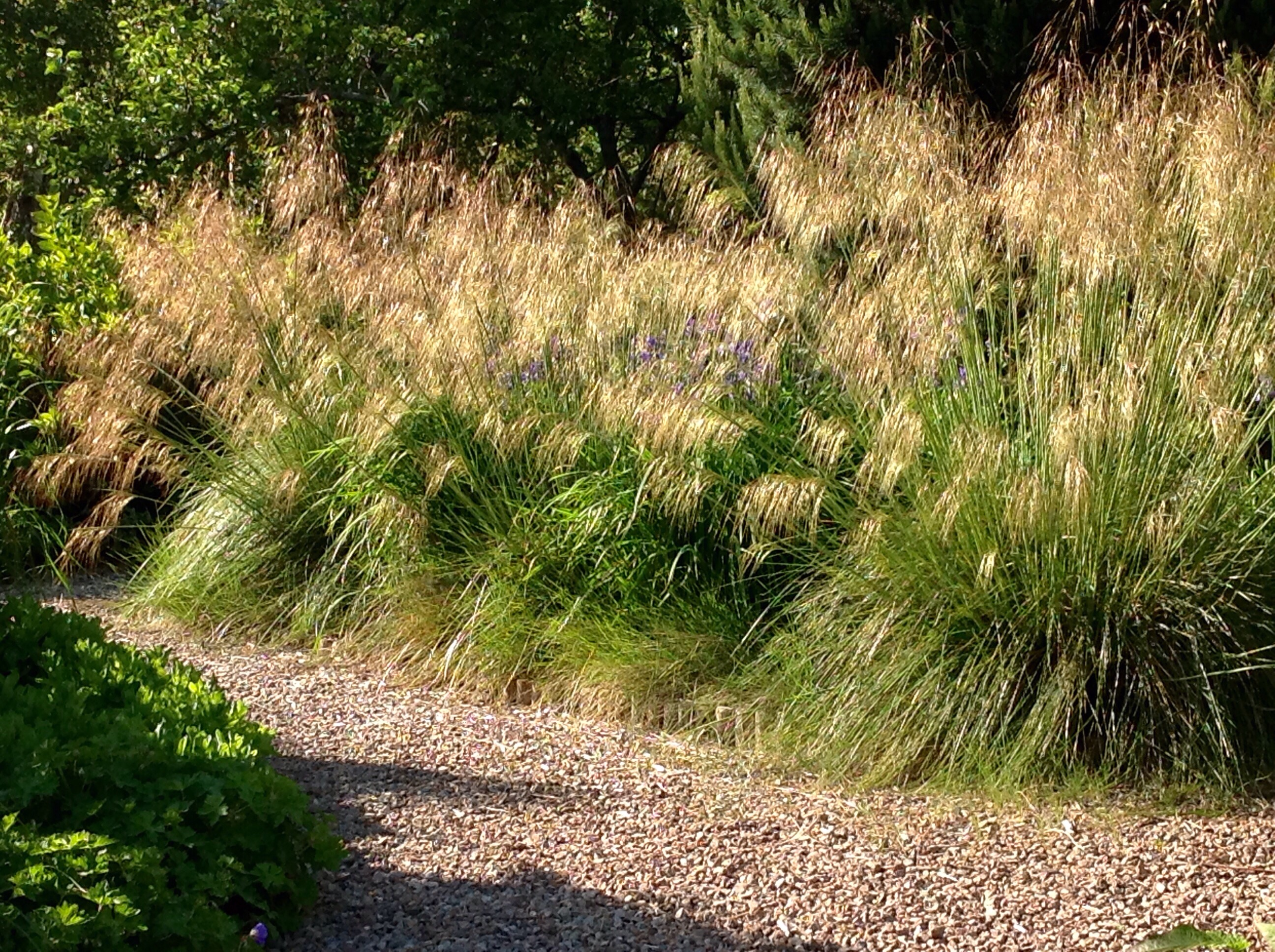 Stipa gigantea barn house garden for The landscape gardener