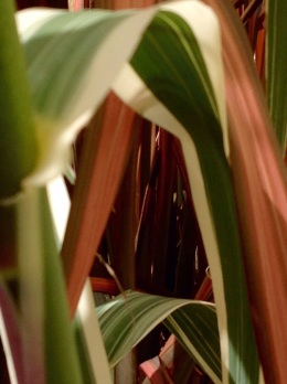 Arundo Donax versicolour and Phormium evening glow