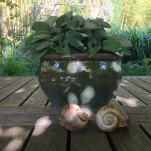 Hosta snails pot June