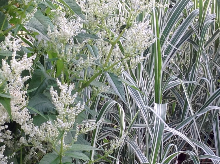 White Persicaria flowers with variegated Miscanthus