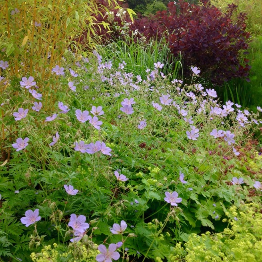 Geranium blue  cloud bamboo june