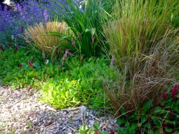 Anemanthele and persicaria affinis Superba