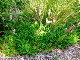Persicaria affinis 'Donald Lowndes'
