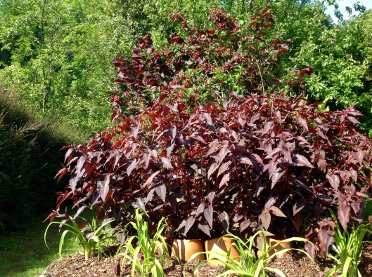 Persicaria red dragon flops by July