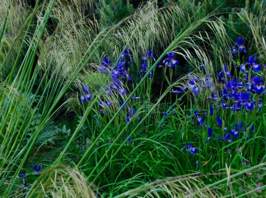Iris and Stipa early June 2015
