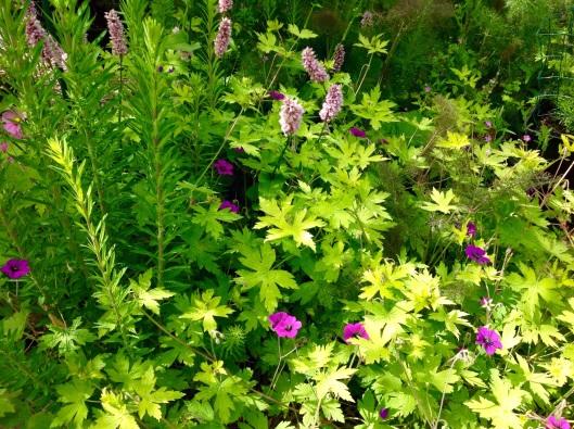 Tank bed geranium Anne folkard June