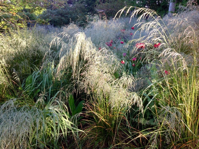 Deschampsia misty morning